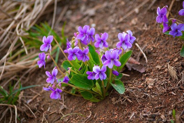 rostlinky fialek