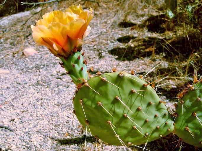 Žlutý květ Opuncie