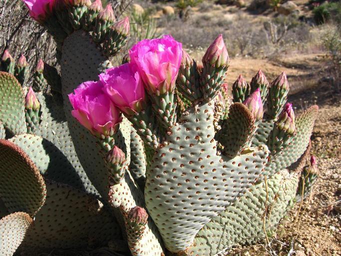 Květ Nopálu